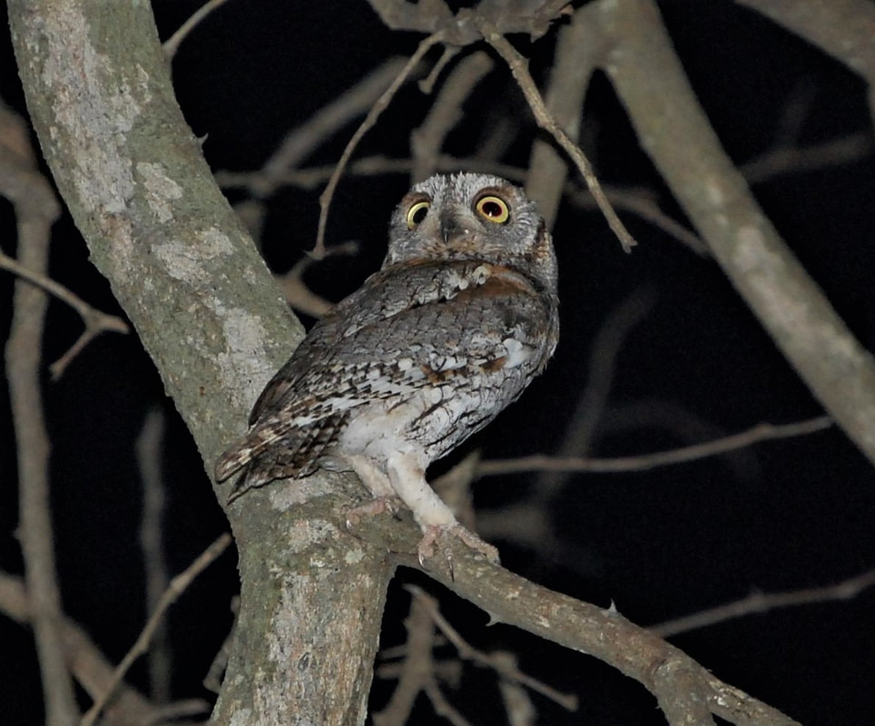 Pearl-spotted Owl, Satara Camp, Kruger National Park, South Africa