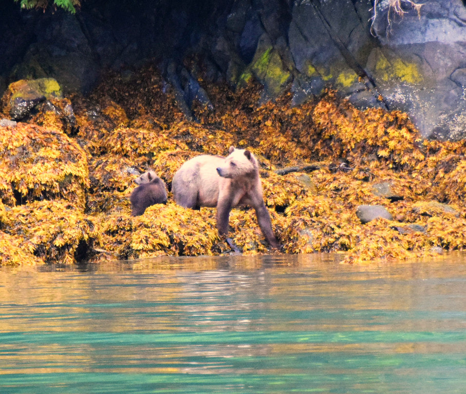 Grizzly Sow & Cub - Glendale Cove, BC - Vancouver Island Photo Tours