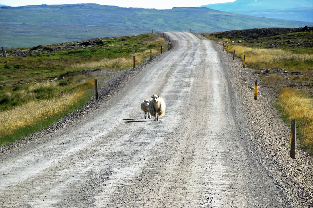 Sheep In The Road - Iceland