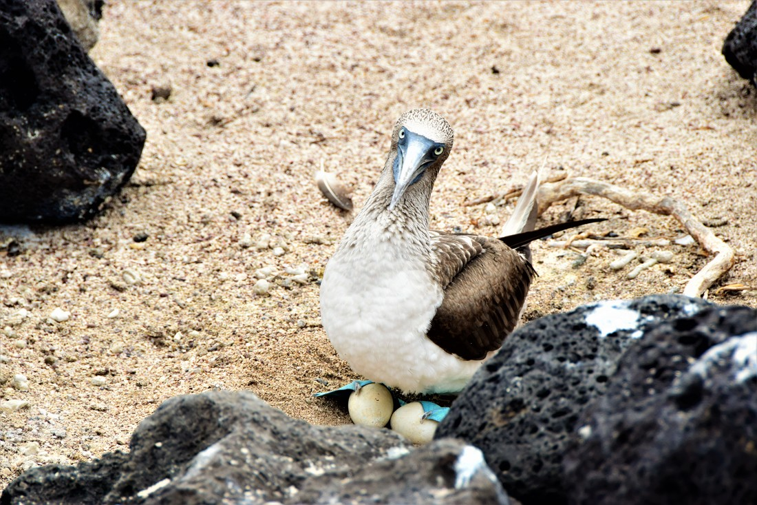 Galapagos Islands Isla Lobos Blue-footed Booby