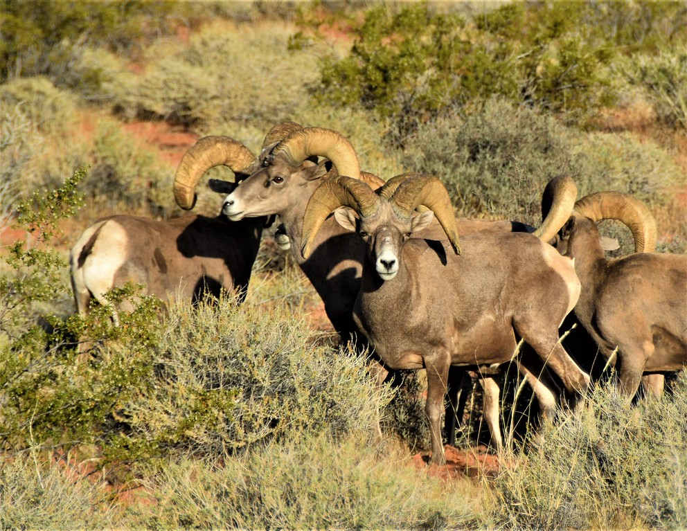 PictureDesert Bighorn Sheep - Valley of Fire