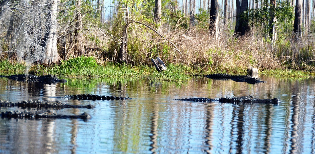 Okefenokee National Wildlife Refuge Billy's Lake Alligators