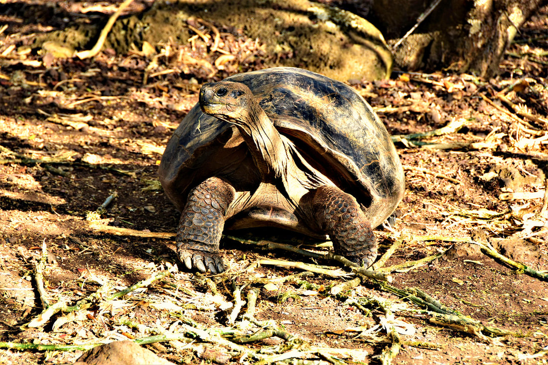 Galapagos Islands San Cristobal Giant Tortoise Breeding Center
