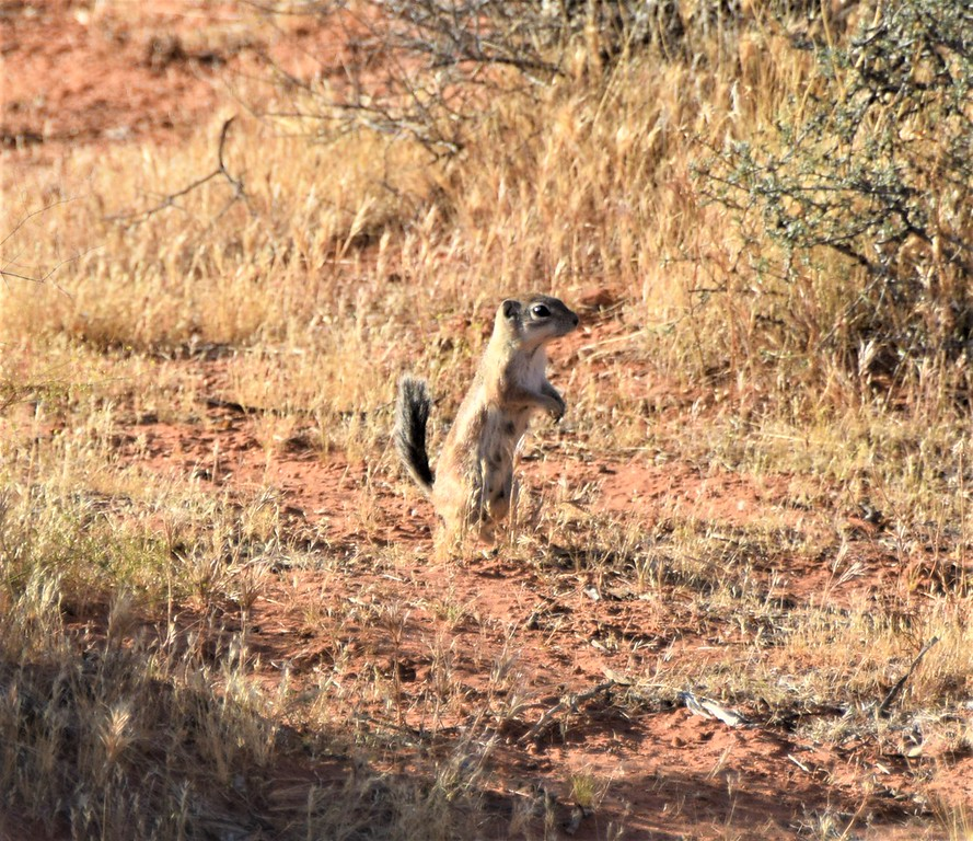 White-tailed Antelope Squirrel - Valley of Fire