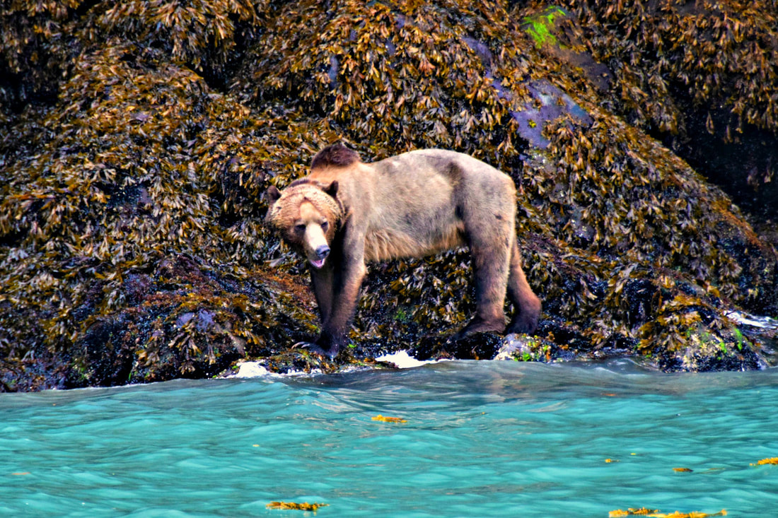Grizzly - Glendale Cove, BC - Vancouver Island Photo Tours