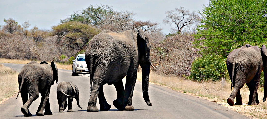 Elephants, Kruger National Park, South Africa