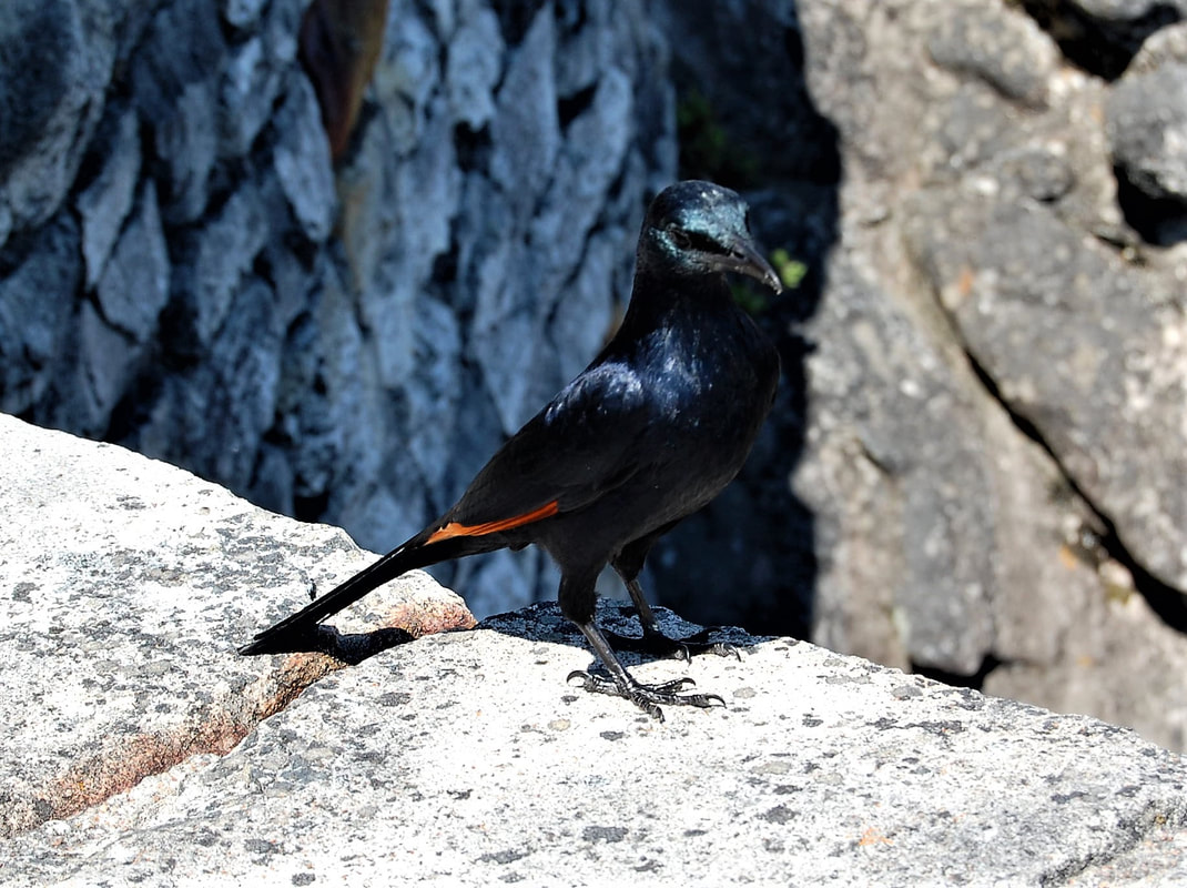 Red-winged Starling, Table Mountain, Cape Town, South Africa