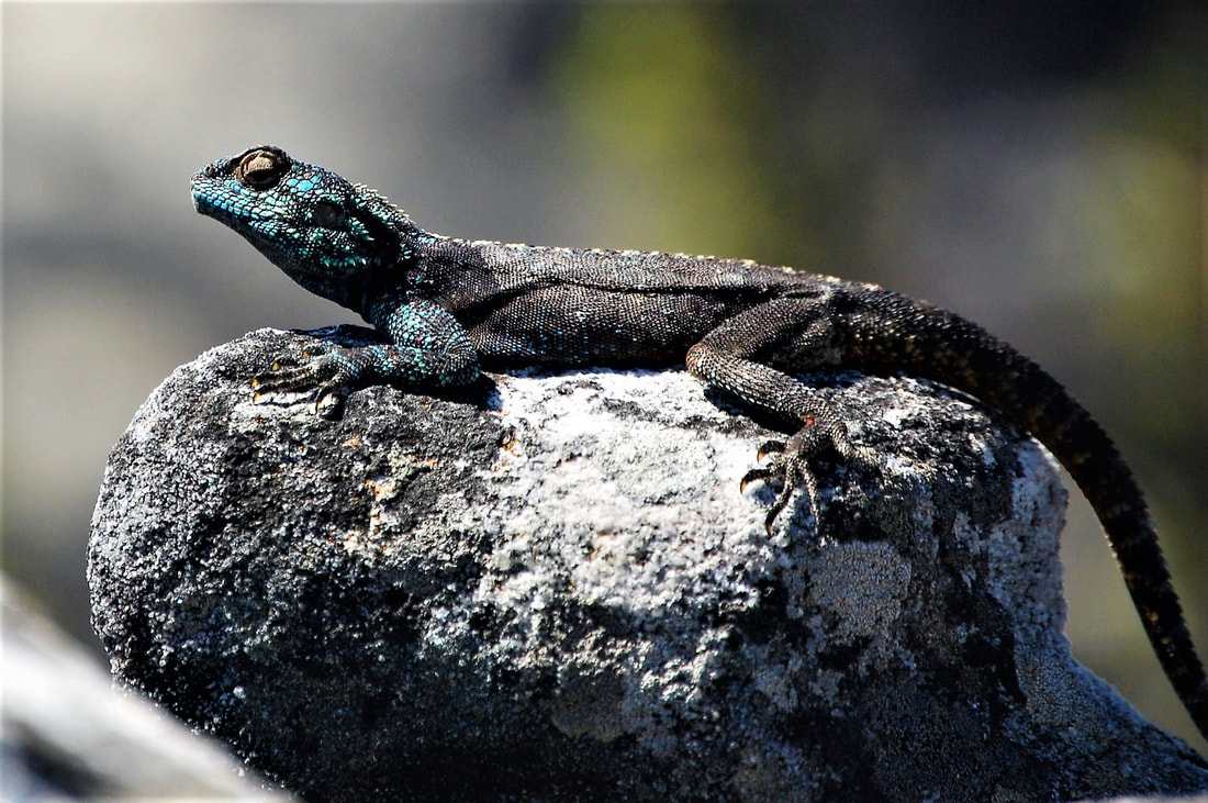 Lizard, Table Mountain, Cape Town, South Africa