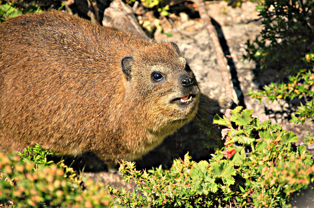 Rock Hyrax or Dassie, Table Mountain, Cape Town, South Africa