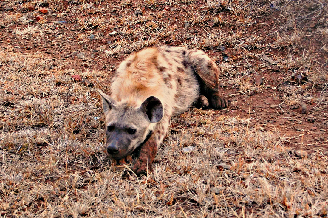 Spotted Hyena, Satara Camp, Kruger National Park, South Africa