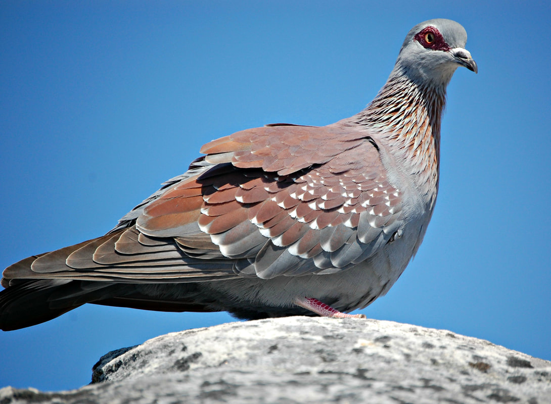 Speckled Pigeon, Table Mountain, Cape Town, South Africa