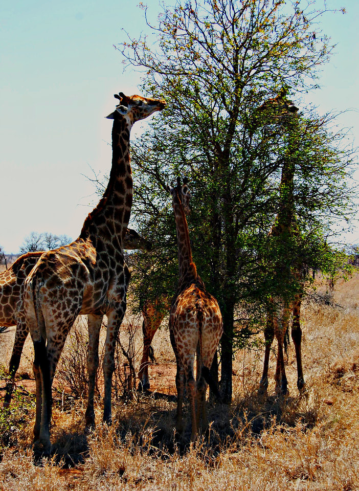 Giraffe Family, Kruger National Park, South Africa