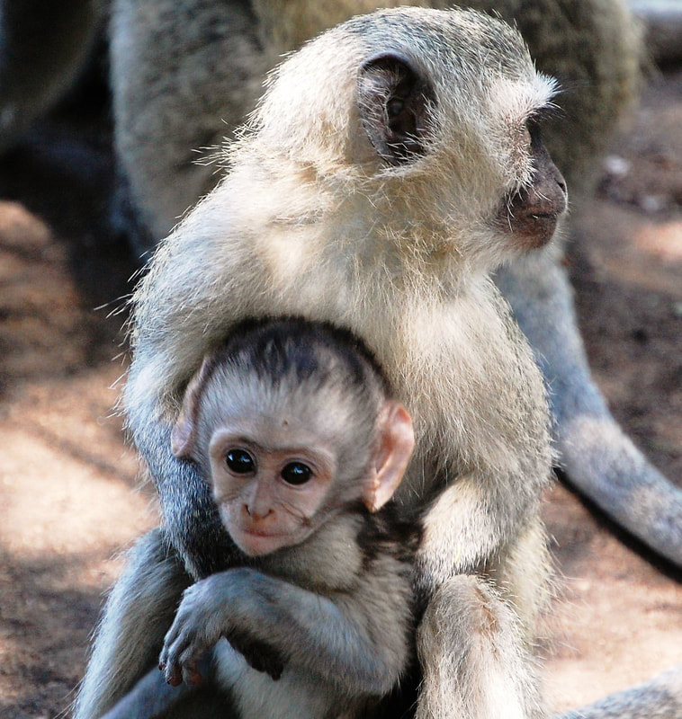 Vervet Monkey Baby, Satara Camp, Kruger National Park, South Africa