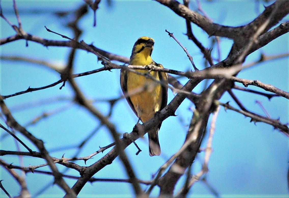 Yellow-fronted Canary, Satara Camp, Kruger National Park, South Africa