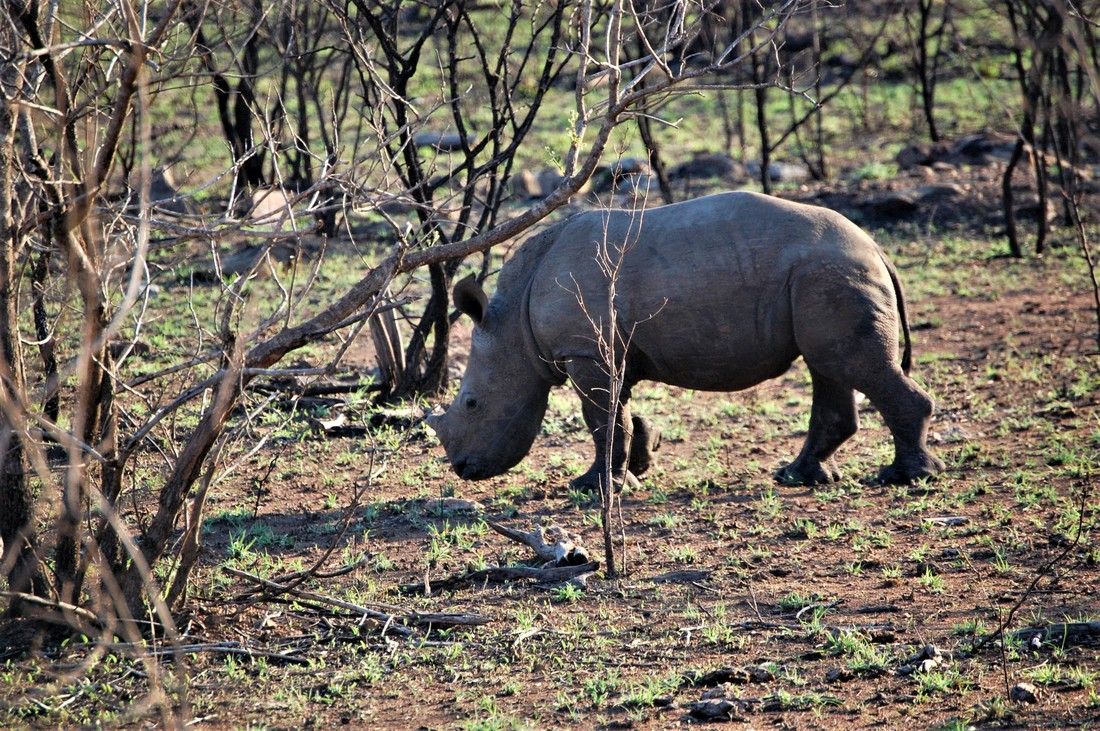 Baby Rhino, Kruger National Park, South Africa