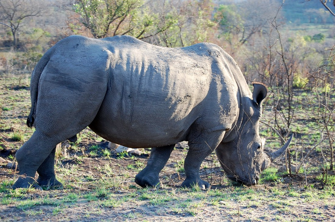 Rhino, Kruger National Park, South Africa