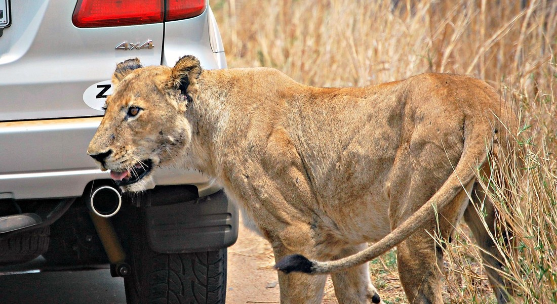 Lion next to car, Kruger National Park, South Africa