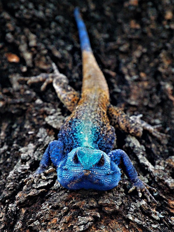 Southern Tree Agama, Kruger National Park, South Africa