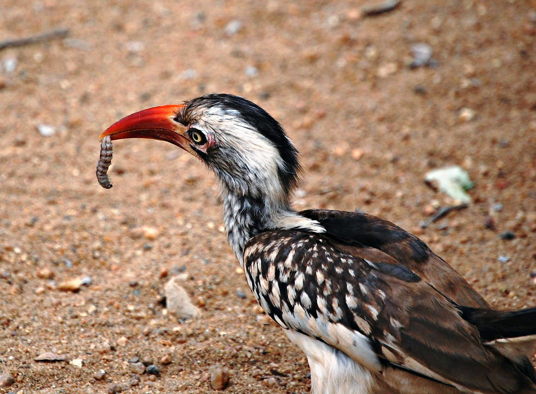 Red-billed Hornbill with grub, Kruger National Park, South Africa