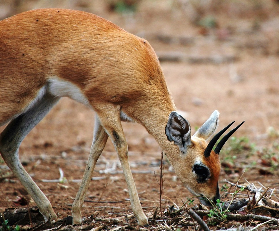 Steenbok, Kruger National Park, South Africa