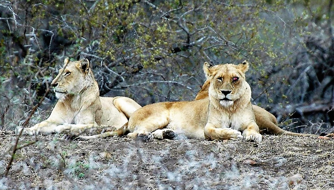 Lions, Kruger National Park, South Africa