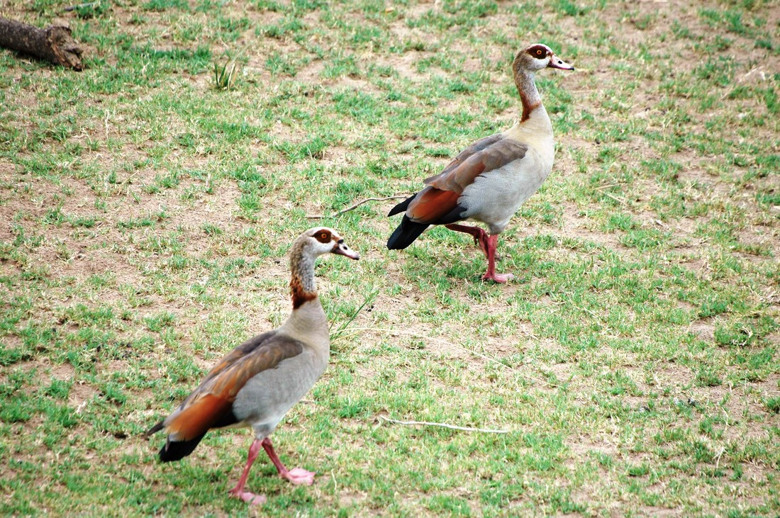 Egyptian Geese, Kruger National Park, South Africa