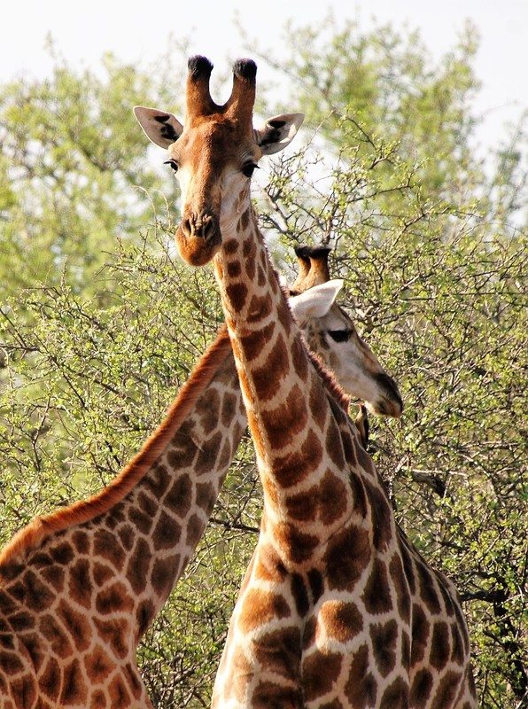Giraffes, Kruger National Park, South Africa