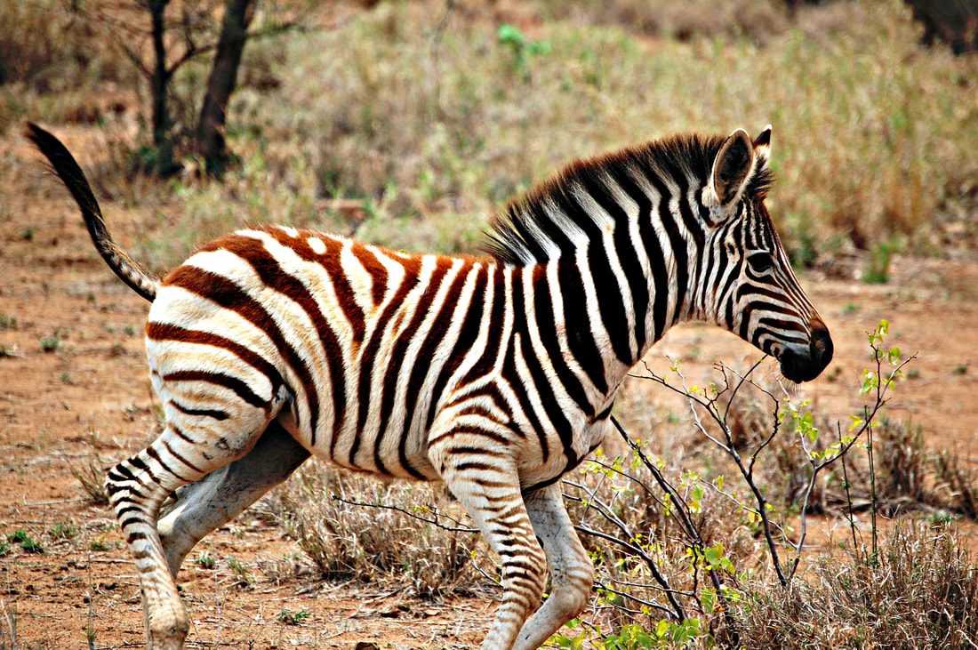 Zebra Foal Running, Kruger National Park, South Africa