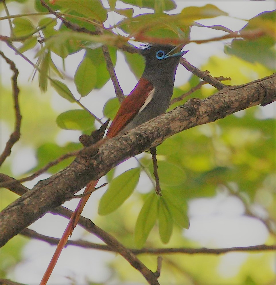 African Paradise Flycatcher, Kruger National Park, South Africa