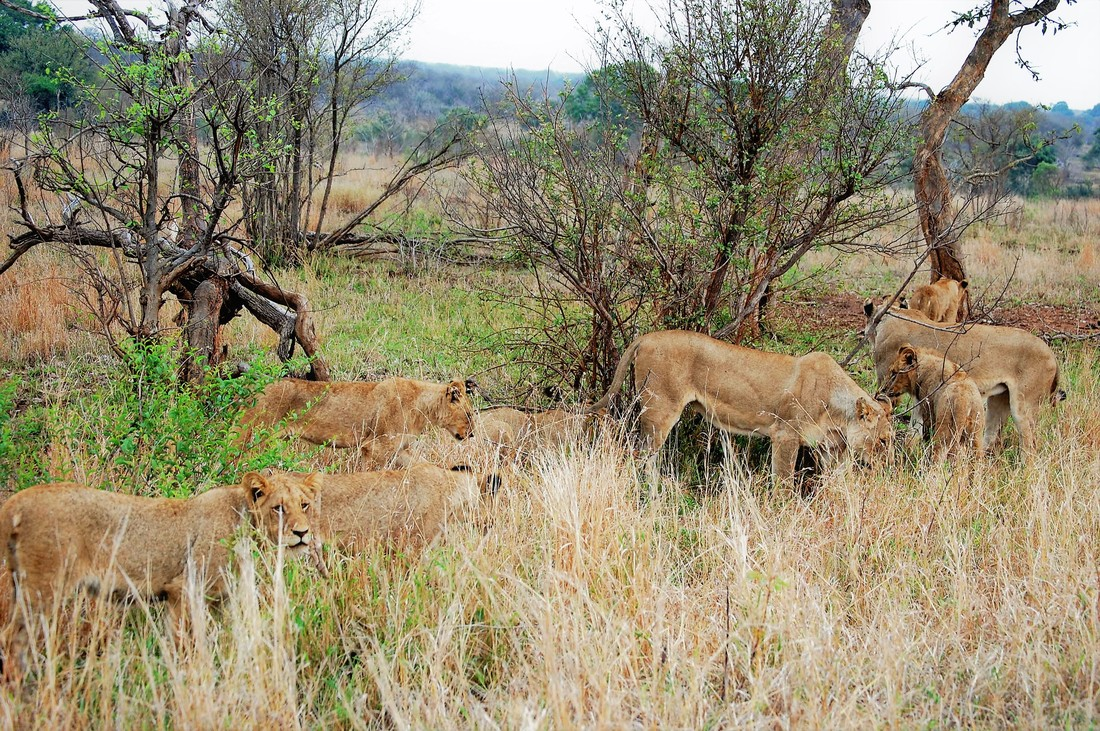 Pride of 20 Lions, Kruger National Park, South Africa