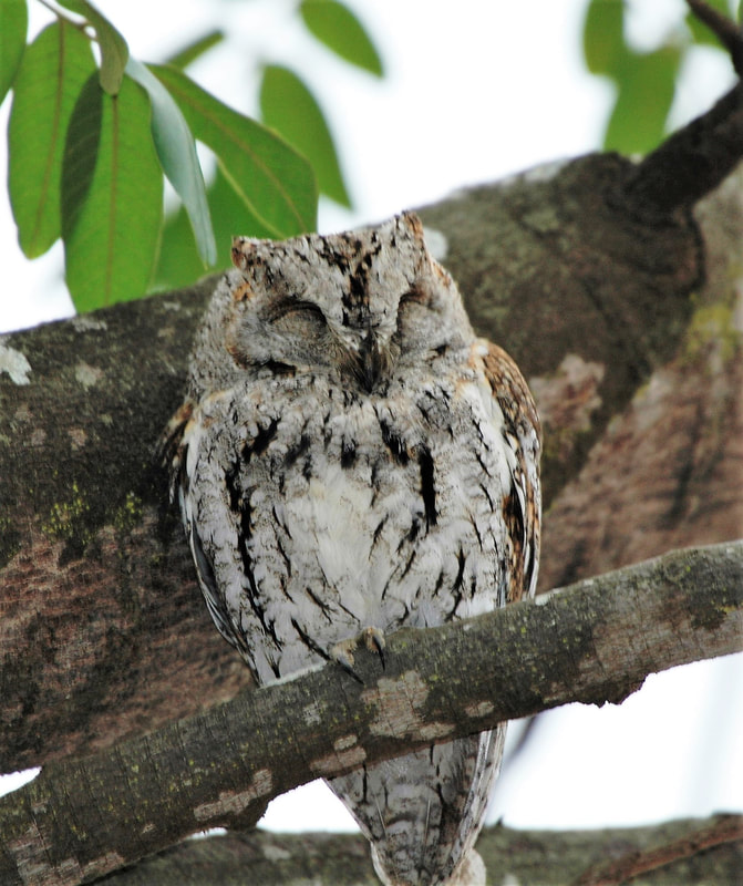 African Scops Owl, Satara Camp, Kruger National Park, South Africa