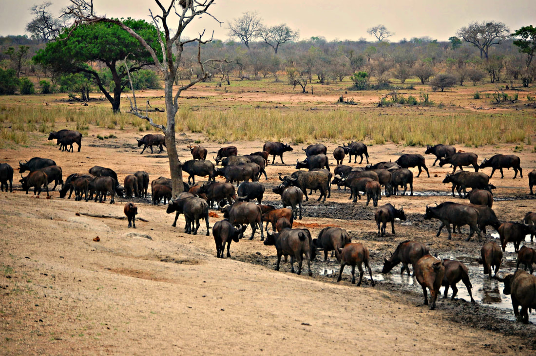 Cape Buffalo Herd, Kruger National Park, South Africa