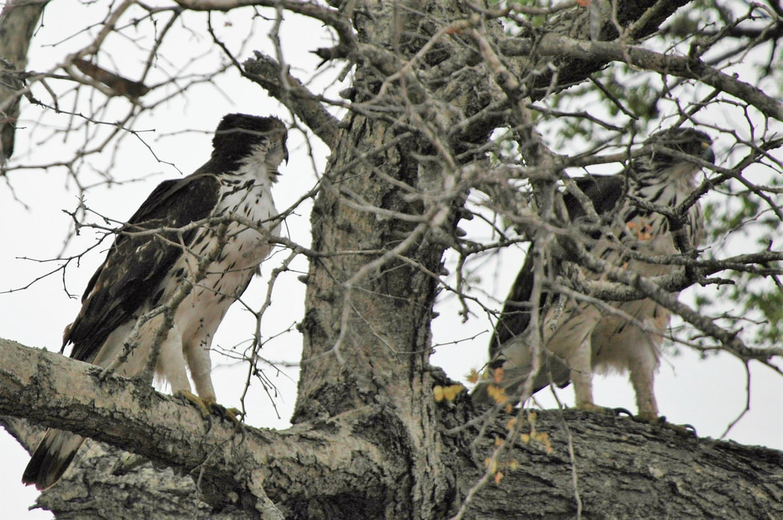 African Hawk Eagles, Kruger National Park, South Africa