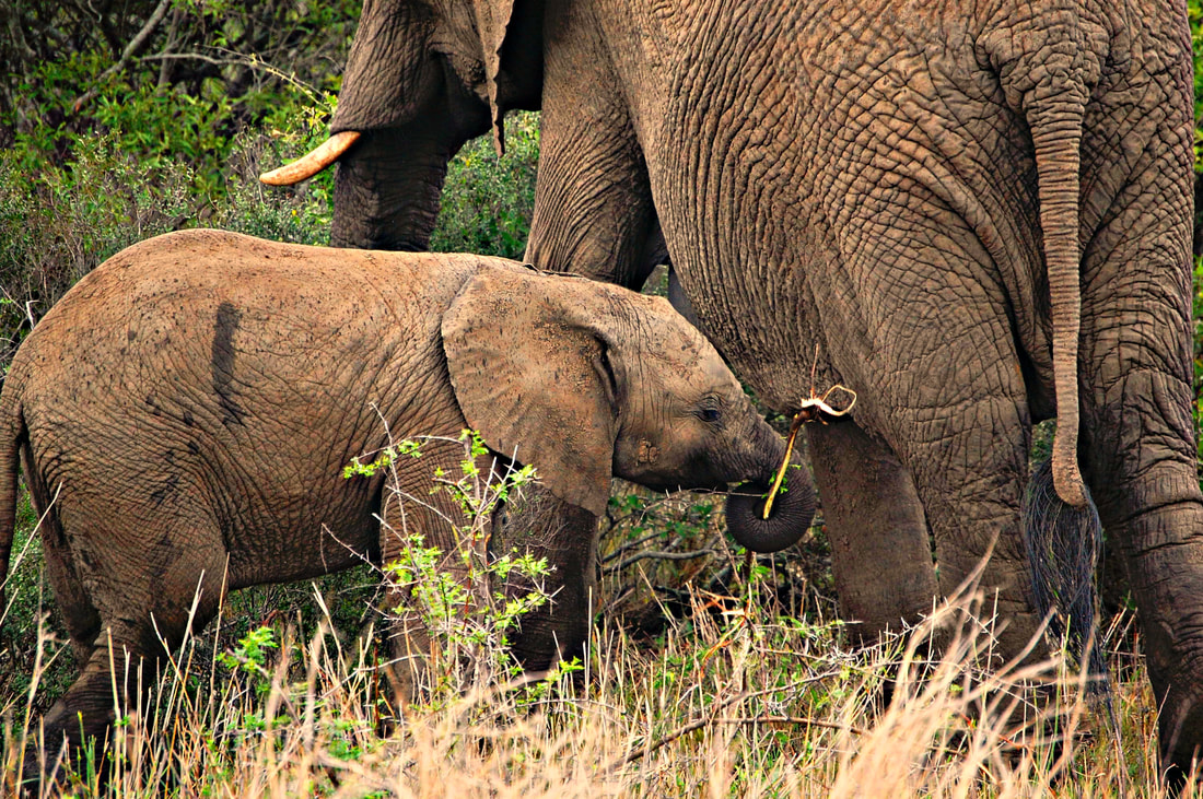 Elephant Calf, Kruger National Park, South Africa