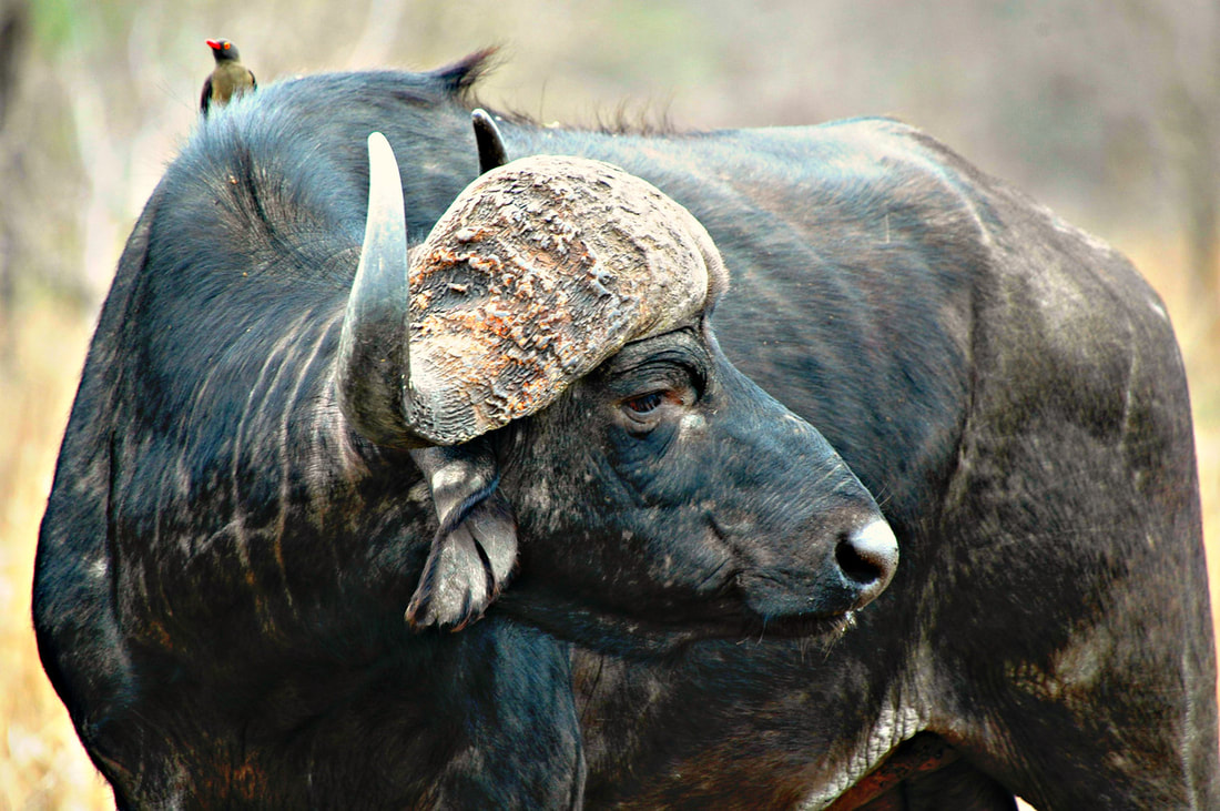 Cape Buffalo, Kruger National Park, South Africa