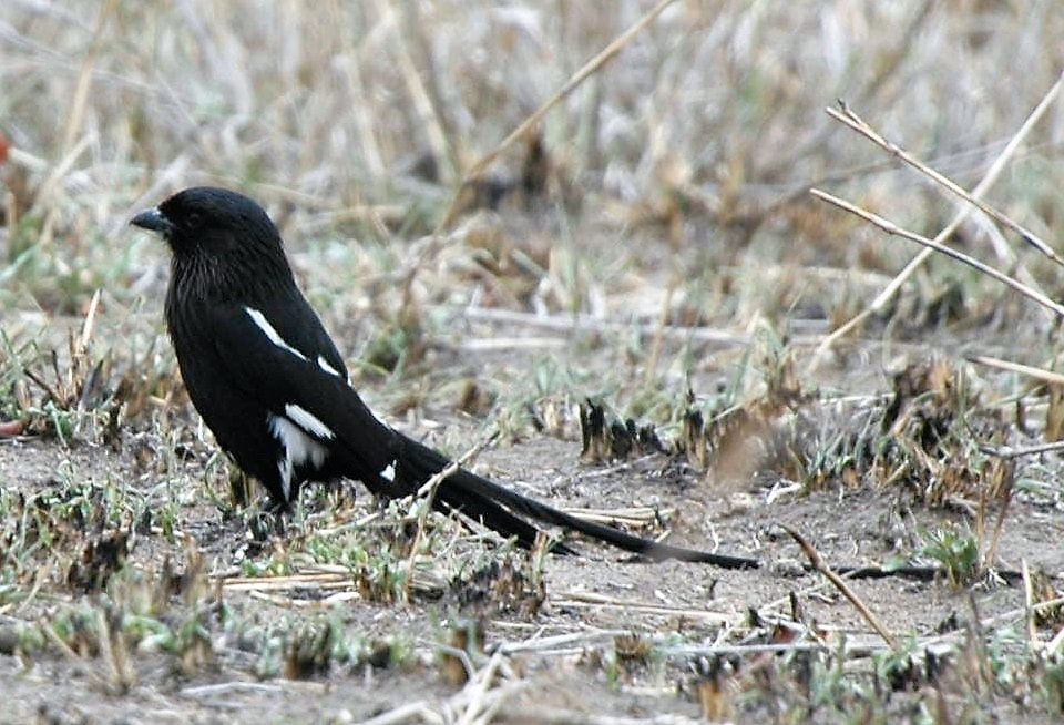 Magpie Shrike, Kruger National Park, South Africa