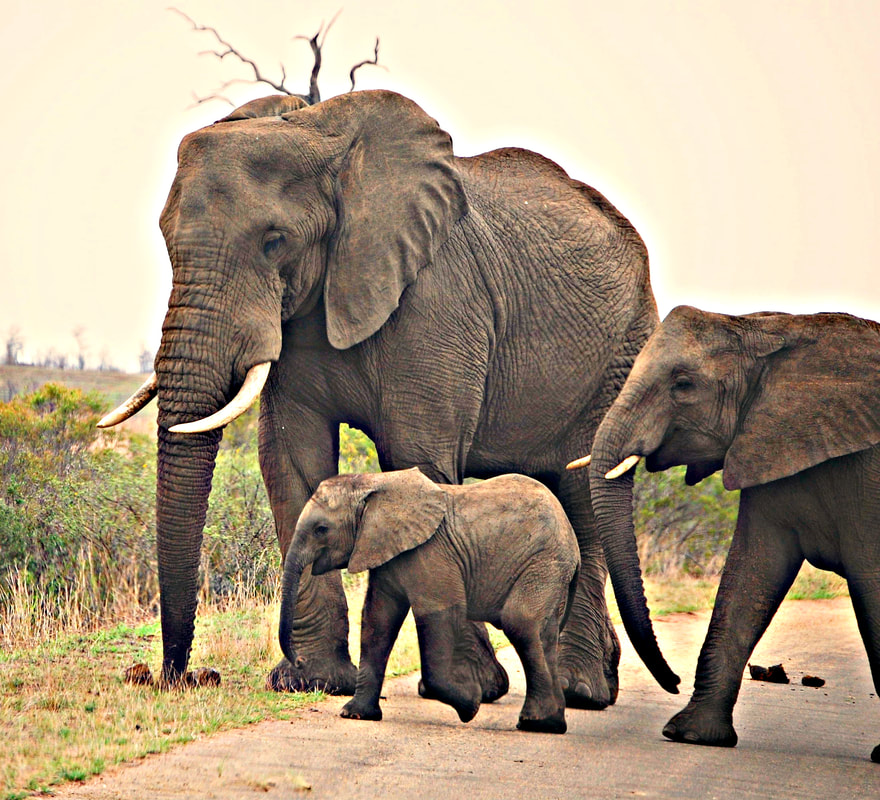 Elephant Road Crossing with Baby, Kruger National Park, South Africa