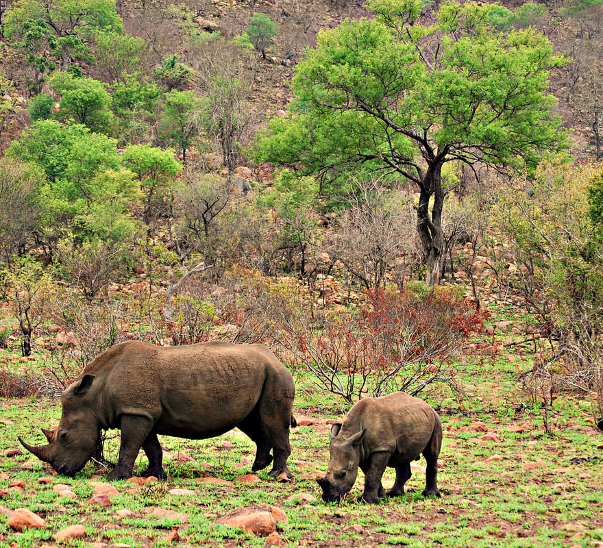 Rhinos, Kruger National Park, South Africa