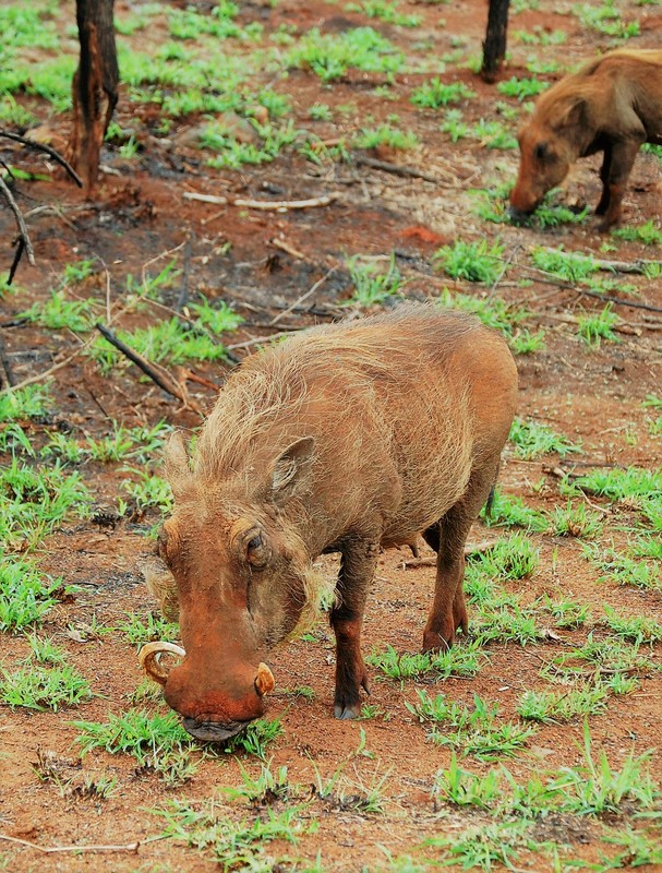 Warthogs, Kruger National Park, South Africa