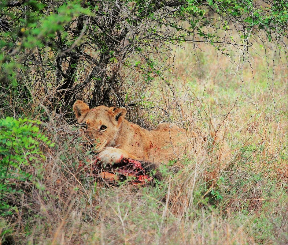 Lion Eating Warthog, Kruger National Park, South Africa
