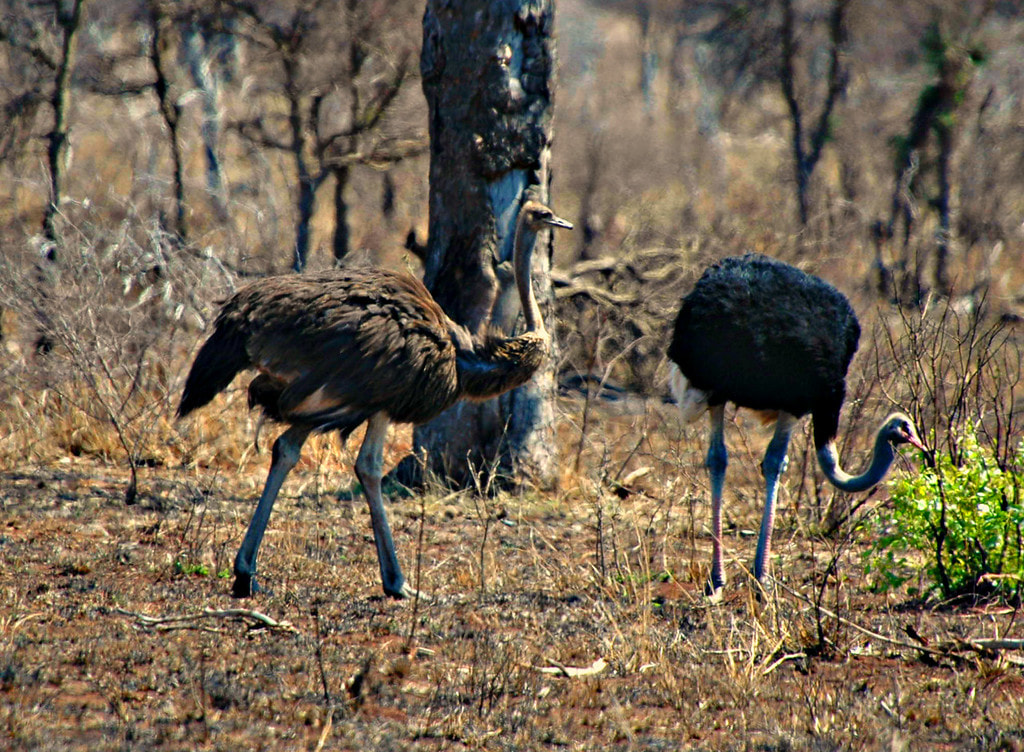 Ostrich Pair, Kruger National Park, South Africa