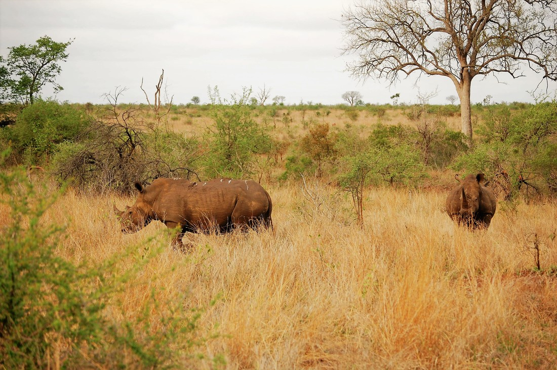 White Rhinos, Kruger National Park, South Africa