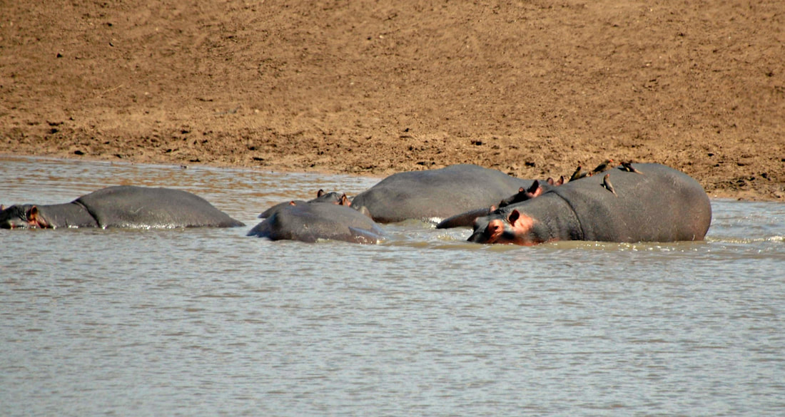 Hippos, Kruger National Park, South Africa