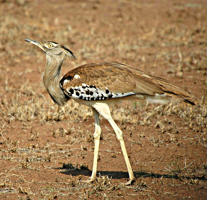 Kori Bustard, Kruger National Park, South Africa