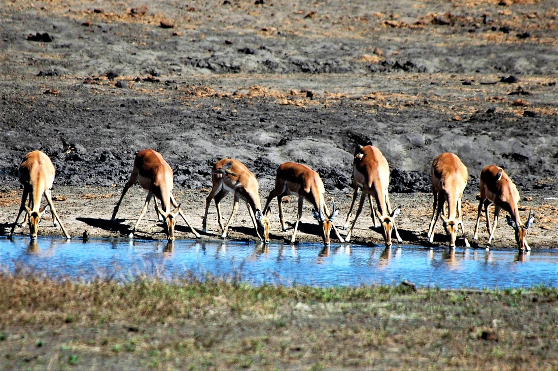 Impala Drinking, Kruger National Park, South Africa