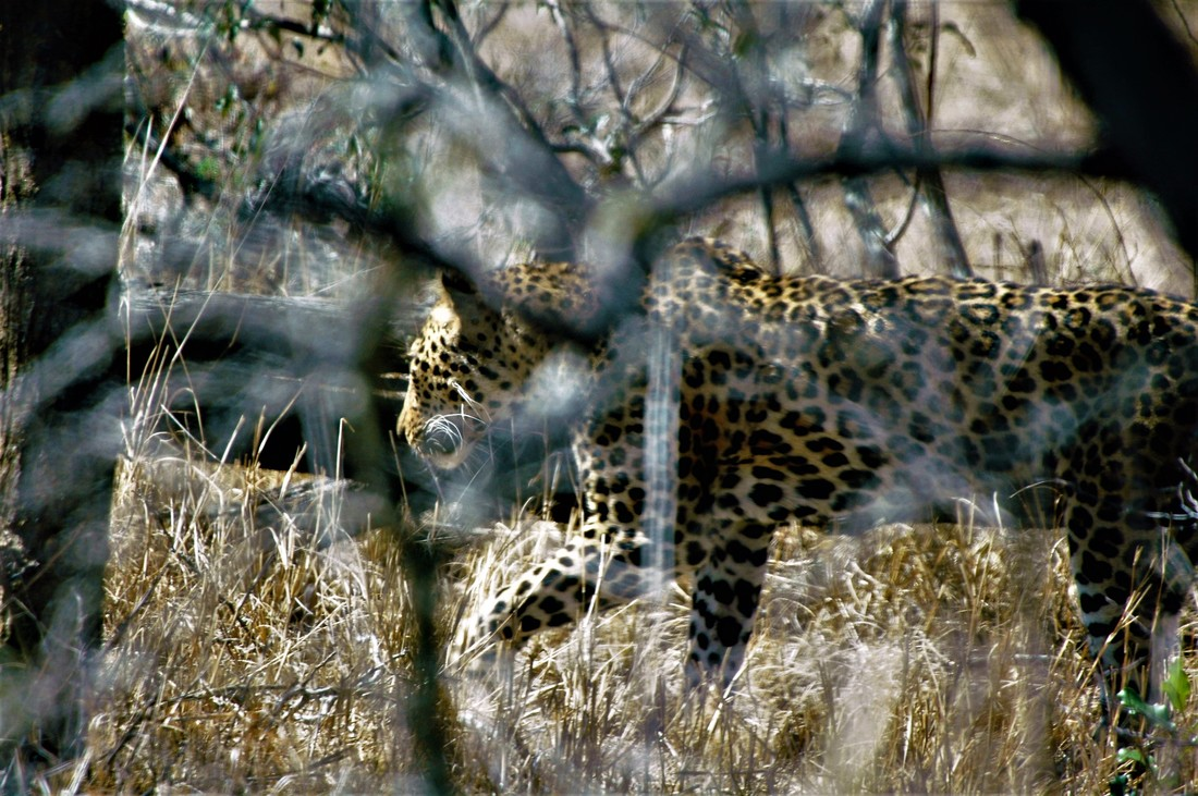Leopard, Kruger National Park, South Africa