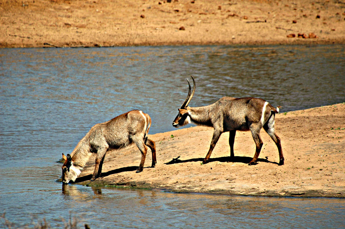 Waterbucks, Nsemani Dam, Kruger National Park, South Africa
