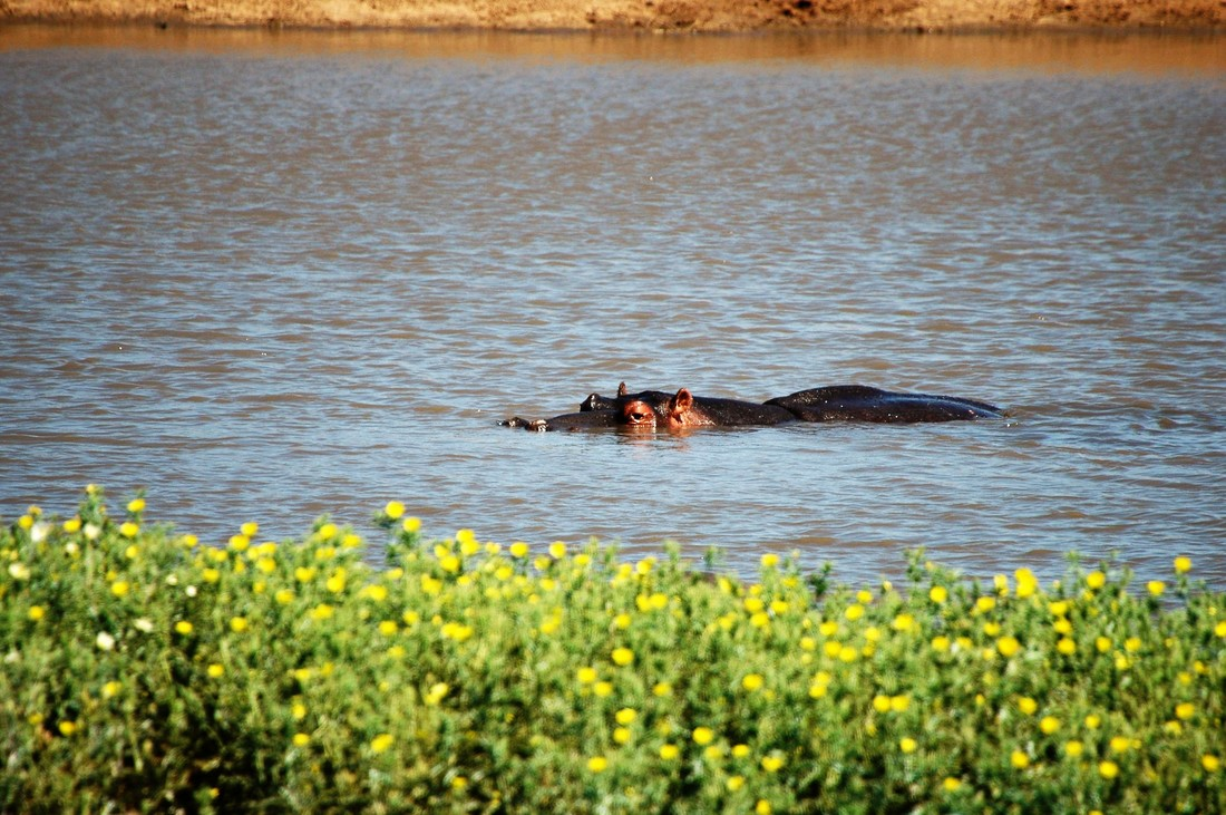 Hippo, Nsemani Dam, Kruger National Park, South Africa