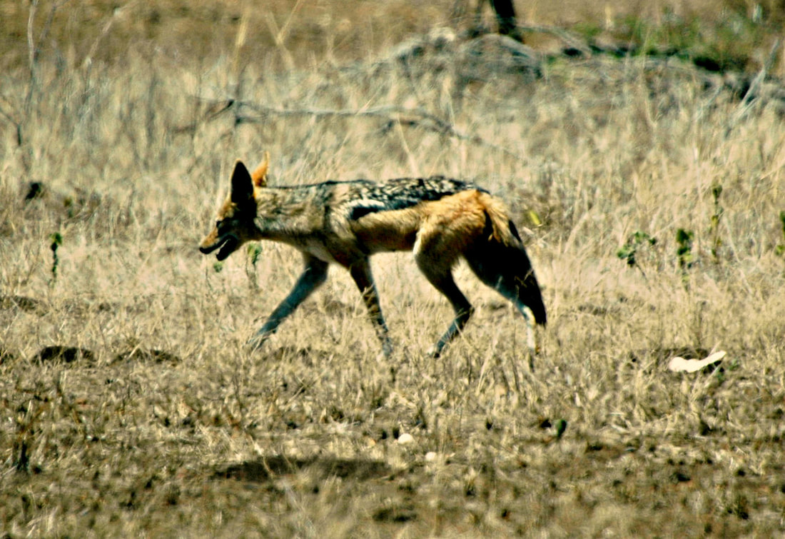 Black-backed Jackal, Kruger National Park, South Africa