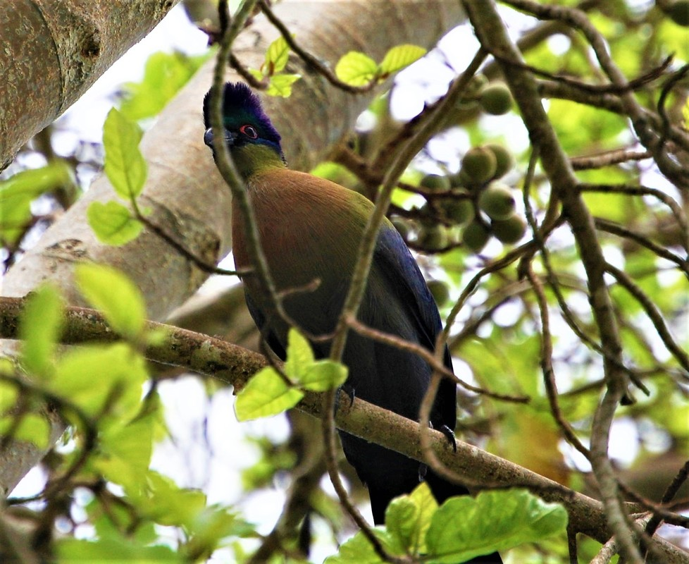 Purple-crested Turaco, Pretoriouskop Camp, Kruger National Park, South Africa